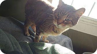 Domestic Shorthair Cat for adoption in Clarkson, Kentucky - Benjamin