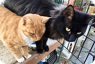 Domestic Mediumhair Cat for adoption in Beverly, Massachusetts - BOBBI and MONTY