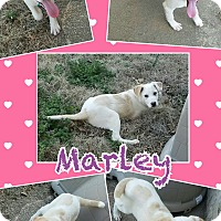 Adopt A Pet :: Marley pending adoption - Manchester, CT