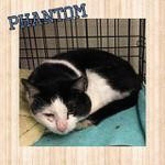 Domestic Shorthair Cat for adoption in Westbury, New York - Phantom