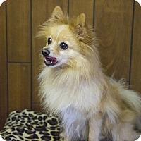 Adopt A Pet :: Handsome Harry - Tavares, FL