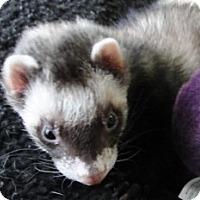 Adopt A Pet :: Biddle - Hartford, CT