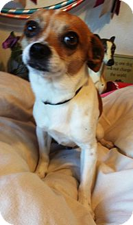 Chihuahua/Terrier (Unknown Type, Medium) Mix Dog for adoption in Yucaipa, California - Fonzie