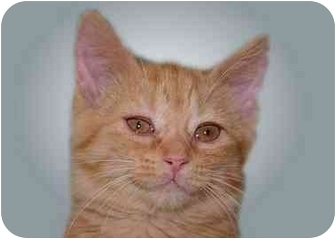 Domestic Shorthair Cat for adoption in Montgomery, Illinois - Ellie