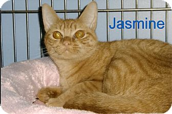 Domestic Shorthair Cat for adoption in Medway, Massachusetts - Jasmine