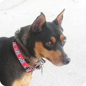 Miniature Pinscher Dog for adoption in Denver, Colorado - Harley
