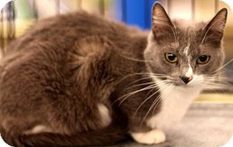 Domestic Shorthair Cat for adoption in Sacramento, California - Lola