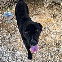 Labrador Retriever/Shepherd (Unknown Type) Mix Dog for adoption in Cookeville, Tennessee - Echo