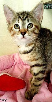 Domestic Shorthair Kitten for adoption in Key Largo, Florida - Ivy