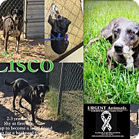 Adopt A Pet :: Cisco - Hearne, TX