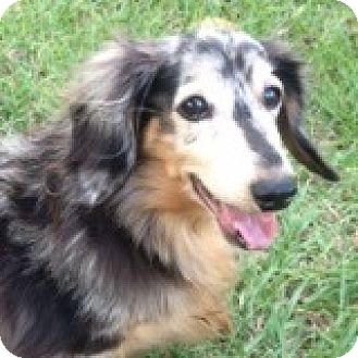 Dachshund Dog for adoption in Houston, Texas - Cody Crispin