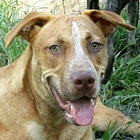 American Pit Bull Terrier/German Shepherd Dog Mix Dog for adoption in Lake Charles, Louisiana - Denzel