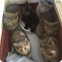Adopt A Pet :: Ava - Chicago, IL