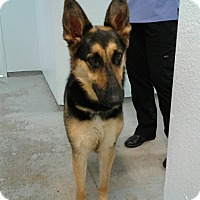 German Shepherd Dog Mix Dog for adoption in Sonora, California - MOLLY