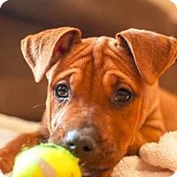 Adopt A Pet :: Kalo - Raleigh, NC