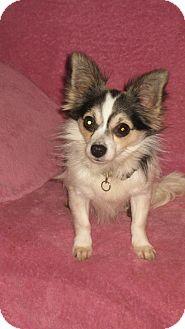 Chihuahua Dog for adoption in Studio City, California - Waldo