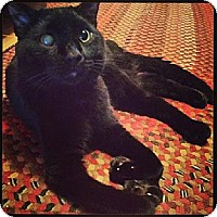 Domestic Shorthair Cat for adoption in Eldora, Iowa - Khan