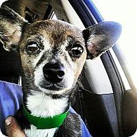 Adopt A Pet :: Cholia - Scottsdale, AZ