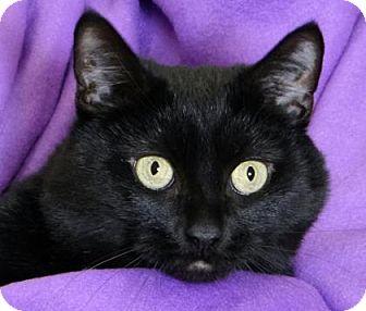 Domestic Shorthair Cat for adoption in Renfrew, Pennsylvania - Snowball
