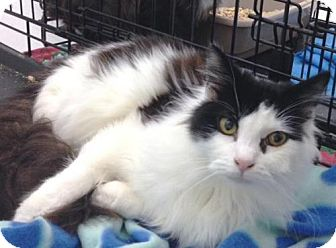 Domestic Longhair Cat for adoption in Springfield, Oregon - Barker