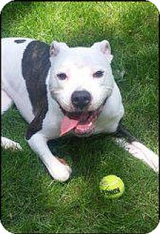 Pit Bull Terrier Dog for adoption in Berea, Ohio - Tango
