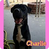 Labrador Retriever Mix Dog for adoption in Mesa, Arizona - Charlie