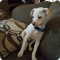 Adopt A Pet :: Boomer - Rancho Cucamonga, CA