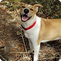 Carolina Dog Mix Puppy for adoption in Cranston, Rhode Island - Willow (fostered in SC)