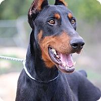 Adopt A Pet :: Drako - Fillmore, CA