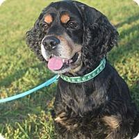 Adopt A Pet :: Bentley - Houston, TX