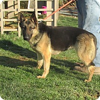 Adopt A Pet :: GERMAN SHEPARD - WOODSFIELD, OH