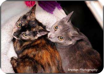 Domestic Shorthair Cat for adoption in Houston, Texas - Harper