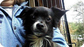 Chihuahua/Pomeranian Mix Dog for adoption in Hagerstown, Maryland - Bits