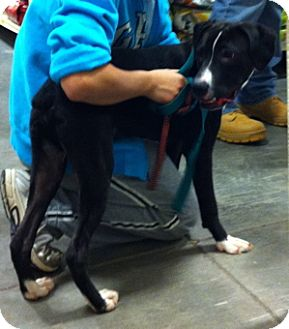 Great Dane/Boxer Mix Puppy for adoption in Loudonville, New York - Tyger