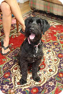 Schnauzer (Standard) Mix Dog for adoption in Marietta, Georgia - Scotty