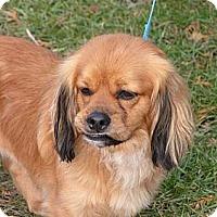Adopt A Pet :: Rusty - Rigaud, QC