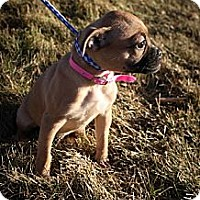 Adopt A Pet :: SugarPlum Peppermint - Broomfield, CO