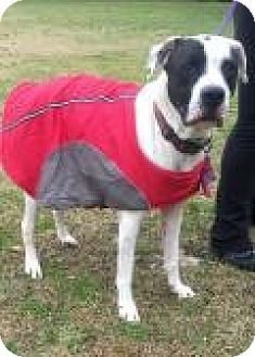Pointer/Pit Bull Terrier Mix Dog for adoption in Mount Pleasant, South Carolina - Stormy