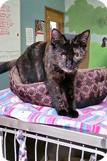 Domestic Shorthair Cat for adoption in Washingtonville, New York - Leela