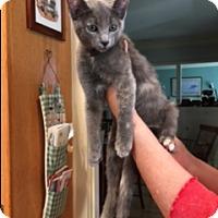 Adopt A Pet :: Lady Grey - Pasadena, CA