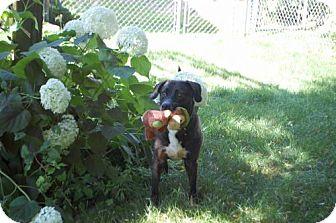 Labrador Retriever Mix Dog for adoption in Palatine/Kildeer/Buffalo Grove, Illinois - Mae