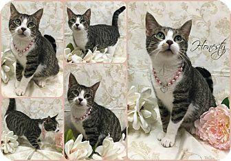 Domestic Shorthair Cat for adoption in Joliet, Illinois - Honesty
