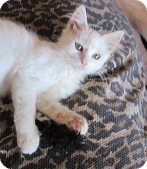 Domestic Mediumhair Kitten for adoption in San Diego, California - DANTE
