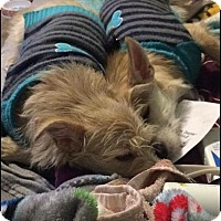 Adopt A Pet :: Sugar and Sparkles are bonded! - Windham, NH