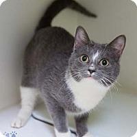 Adopt A Pet :: Jean Harlow - Merrifield, VA