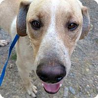 Adopt A Pet :: Yeller - Harrisonburg, VA