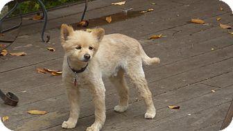 Pomeranian Dog for adoption in Raleigh, North Carolina - Alexsi