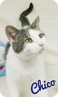 Domestic Shorthair Cat for adoption in Kendallville, Indiana - Chico