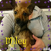 Adopt A Pet :: Miley - Barriere, BC