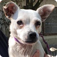 Adopt A Pet :: Cupcake - Orlando, FL